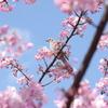河津桜と野鳥