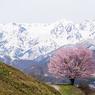 アルプスと桜と撮る人