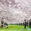 桜は愛すひとを愛す