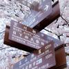 高山桜満開
