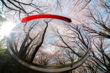 桜Reflection
