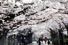 桜並木の遊歩道#3