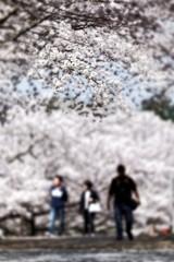 桜並木の遊歩道#7