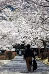 桜並木の遊歩道#6