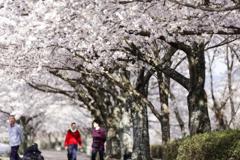 桜並木の遊歩道#1