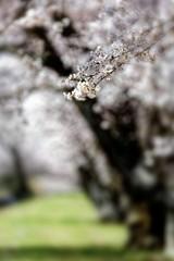 桜並木の遊歩道#8
