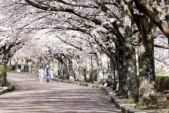 桜並木の遊歩道#2
