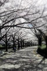 桜並木の遊歩道#5