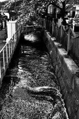 大岡川周辺の花筏