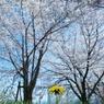 NIKON NIKON D700で撮影した植物(大きい春、小さい春)の写真(画像)