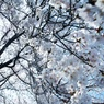 NIKON NIKON D700で撮影した(降り注ぐ春)の写真(画像)