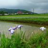 田園と花菖蒲。