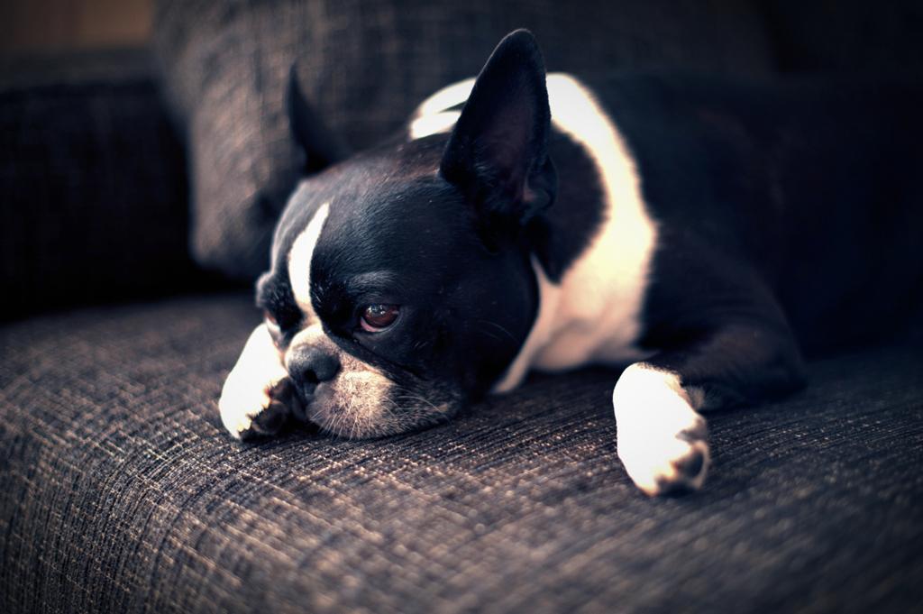 犬とソファー