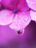 紫のしずく