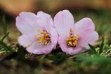 桜、地面で咲く。