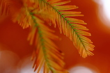化石樹の紅葉
