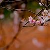 秋に咲く可憐な桜