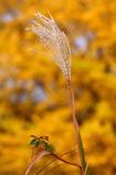 錦秋の尾花