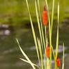 水辺の御簾草