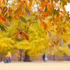 休日の黄葉