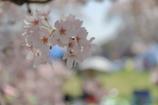お花見日和 Ⅰ