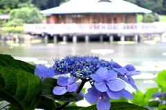 2006 浜離宮の紫陽花