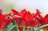 Red Tulip_「愛の告白」