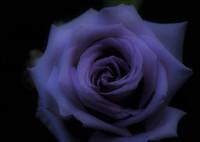 『ガラスの仮面』_夕暮れの薔薇