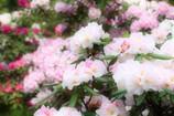 春爛漫_石楠花