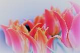 Pink Tulip_「愛の芽生え」