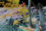イロハモミジの采