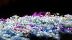 """綿・雪・雲_「moss phlox」""""彩""""Glossily"""