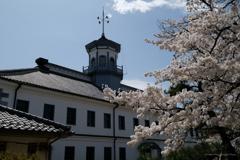 旧開智学校と桜