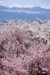 桜越しの北アルプス