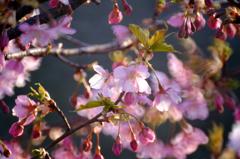 河津桜をミラーレンズで3