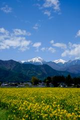 常念岳と菜の花畑