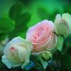 私の好きな薔薇