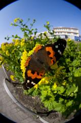 南房総の菜の花と蝶