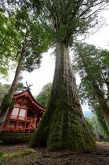 十根川神社の杉