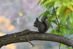 小さな栗の木の枝で