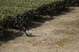 茶畑の住人