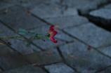 薔薇の孤独