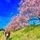 みなみの桜と菜の花 その3