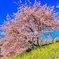 みなみの桜と菜の花 その1