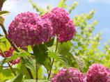 紫陽花の背伸び
