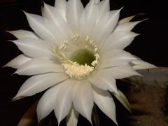サボテンの花2
