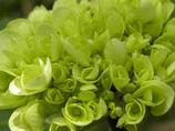 紫陽花(グリーン)