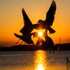 夕陽のユリカモメ..#2