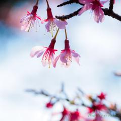 さくら咲く3月。。
