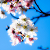 秋桜(あきざくら)..